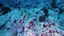 Perfekt imitiert der Fasanbutt seine Umgebung im tropischen Pazifik an der mexikanischen Insel Socorro.