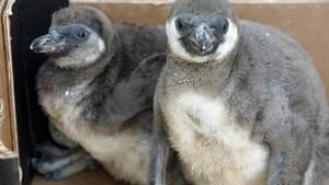 Tödliche Attacke unter Pinguinen im Dresdner Zoo