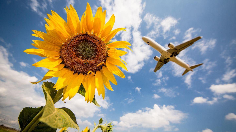 Ein Flugzeug der Lufthansa fliegt über ein Feld von Sonnenblumen