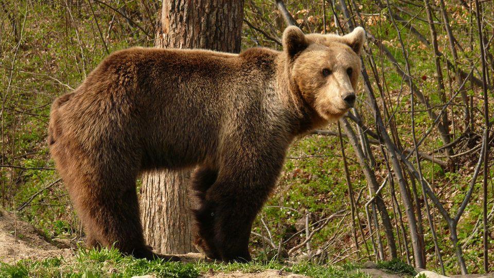 Braunbär Karpaten Angriff auf Touristen