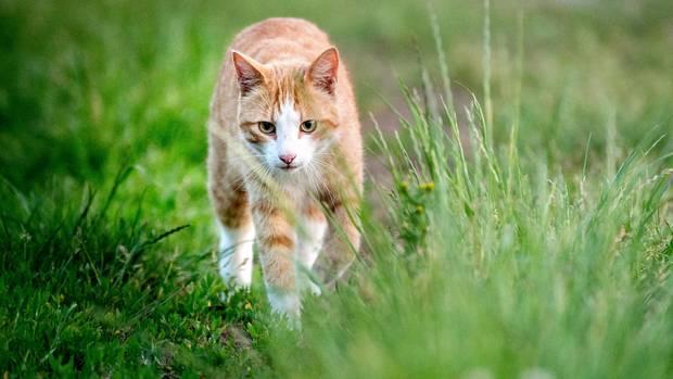 Eine gingerfarbene, getigerte Katze schleicht durchs hohe Gras