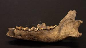 Das Gebiss eines riesigen Urzeit-Wolfes