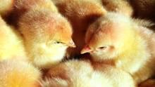 Eintagsküken gelten in der Geflügelwirtschaft als nutzlos