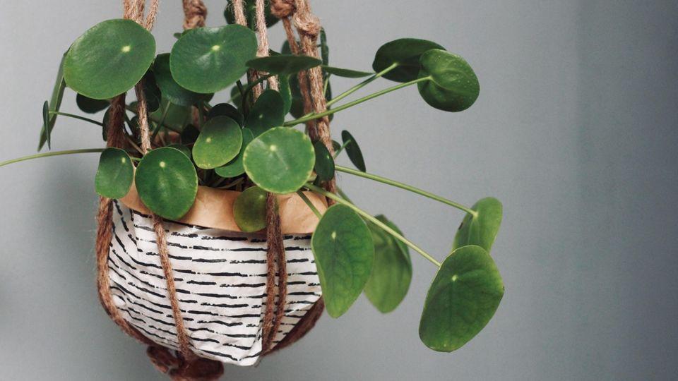 Ein chinesischer Geldbaum sieht als hängende Pflanze toll aus