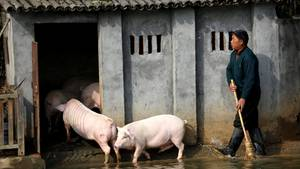 Schweinestall in China