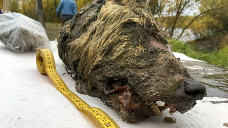 Der Kopf eines eiszeitlichen Wolfes liegt neben einem Maßband.