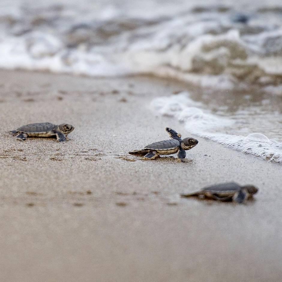 Miami in Florida: Frau trampelt auf Gelege von Meeresschildkröten herum