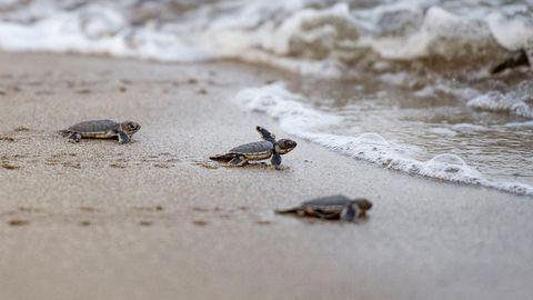 Frisch geschlüpfte Schildkröten auf dem Weg ins Meer