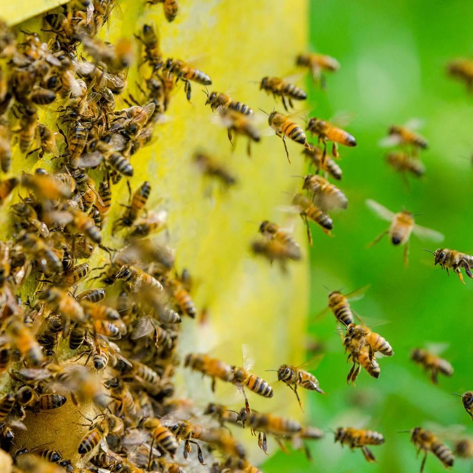 Nachrichten aus Deutschland: Bienenschwarm setzt Jugendliche auf Reiterhof fest - Feuerwehreinsatz