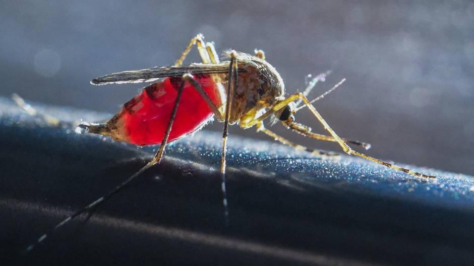 Chikungunya-Virus: Eine Stechmücke saugt Blut aus dem Arm eines Mannes