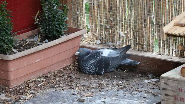 Taube kann nicht mehr fliegen und sitzt in der Ecke