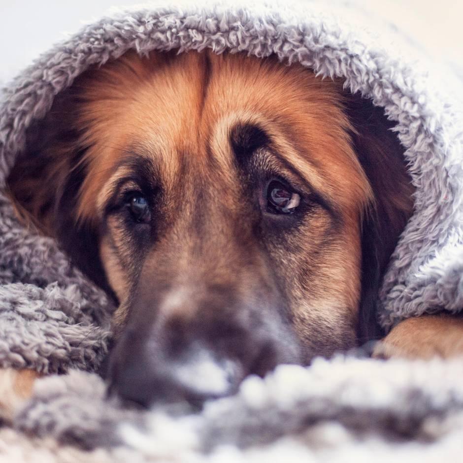 Evolution: Forscher lösen Geheimnis um Hundeblick: Die Tiere wissen ganz genau, was sie tun