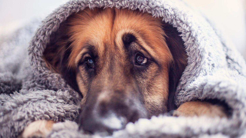 Ein Schäferhund hebt die Augenbrauen und liegt unter einer Decke