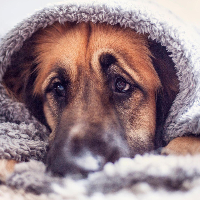 Hundeblick Forscher Lösen Geheimnis Um Den Unwiderstehlichen Blick Stern De