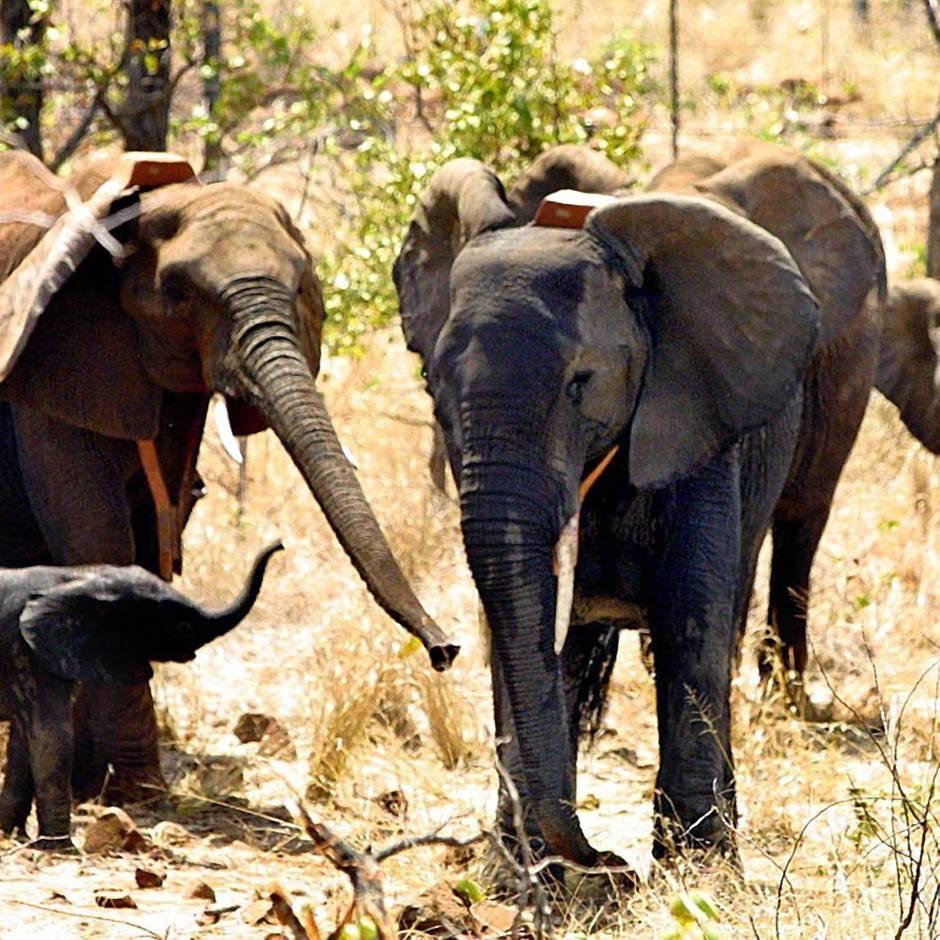 Maßnahmen gegen Wilderer: Seit einem Jahr ist in Mosambik kein Elefant mehr ermordet worden – das ist leider eine Neuigkeit