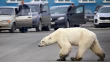 Norilsk in Russland: Völlig abgemagerter Eisbär verirrt sich in Großstadt – Umweltschützer alarmiert