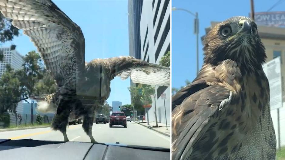 Falke sitzt 15 Minuten auf Motorhaube – und lässt sich durch L.A. chauffieren.