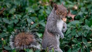 Ein Eichhörnchen im Central Park in New York isst eine Erdnuss