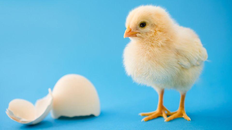 Küken Eier
