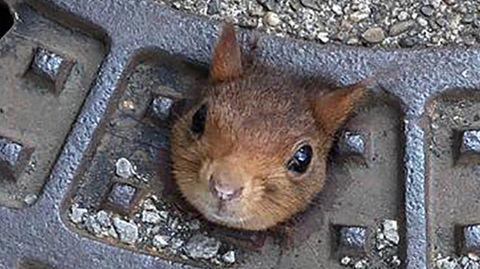 Ein Eichhörnchen klemmt in einem Gullydeckel