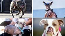 Knapp 20 Hunde konkurrierten um den Titel: Hässlichster Hund der Welt.