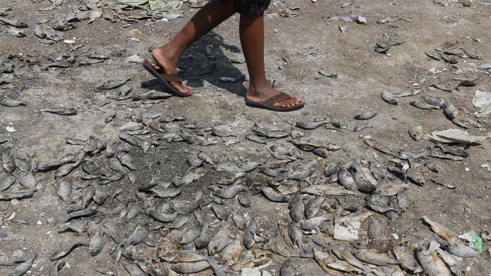 Ein Mann läuft über Fischkadaver. Die Tiere sind verendet, weil der See, in dem sie lebten, ausgetrocknet ist.