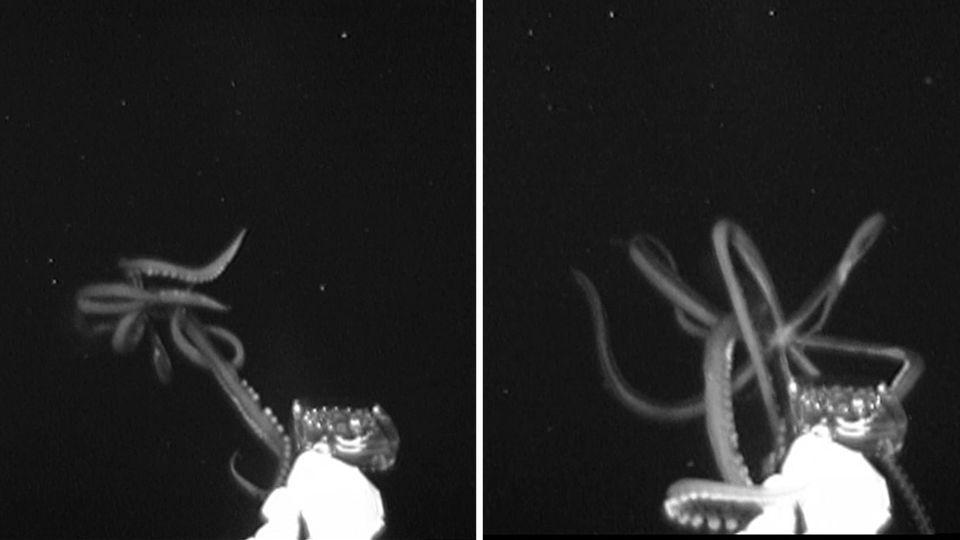 Erst zum zweiten Mal überhaupt können Forscher einen Riesenkalmar in seinem natürlichen Lebensraum filmen.