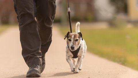 Jack-Russell-Terrier an der Leine