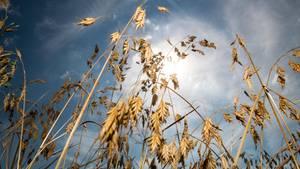 Hitzewelle über Deutschland: Normaler Sommer oder Klimawandel? Vertrockneter Weizen steht auf einem Feld