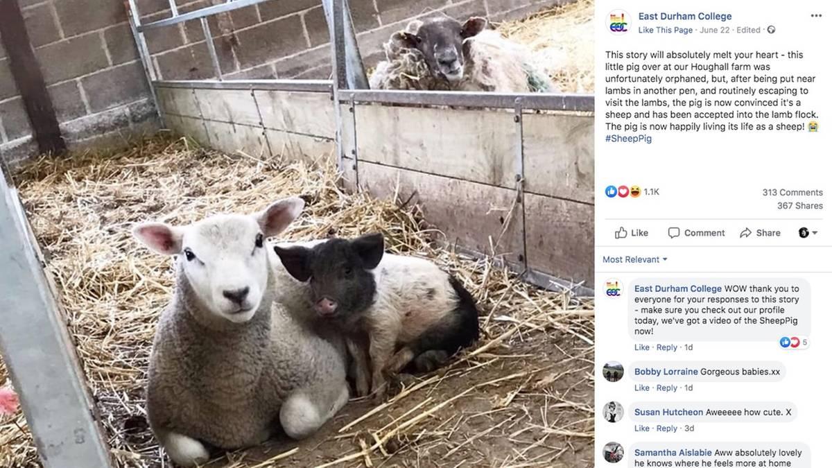 Gro-britannien-Schweinchen-Alistair-war-der-Zwerg-ihres-Wurfes-nun-glaubt-sie-sie-sei-ein-Schaf