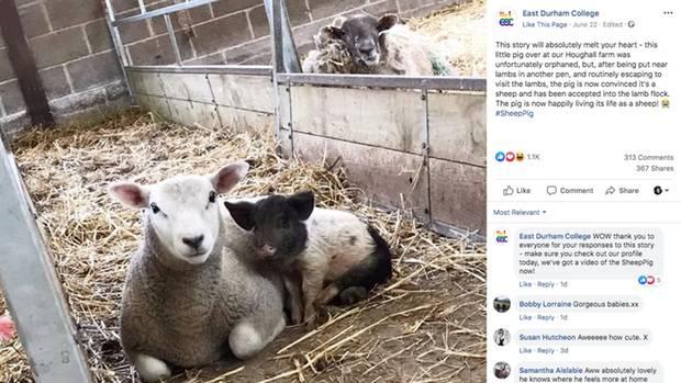 Ein kleines Schwein sitzt dicht neben einem Schaf