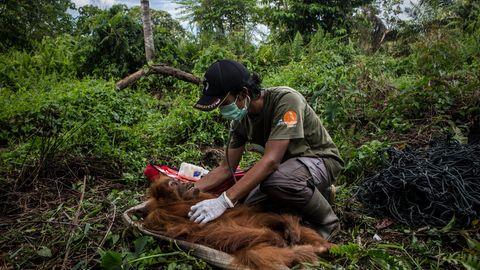 Borneo: Das Leiden der zu Tode gehetzten Orang-Utans