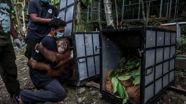 Ein junger Orang-Utan klammert sich an einen Helfer. Er wird im Transportkasten in ein Schutzgebiet gebracht und dort ausgewildert.
