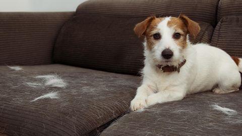 Hundehaare auf dem Sofa sind besonders nervig