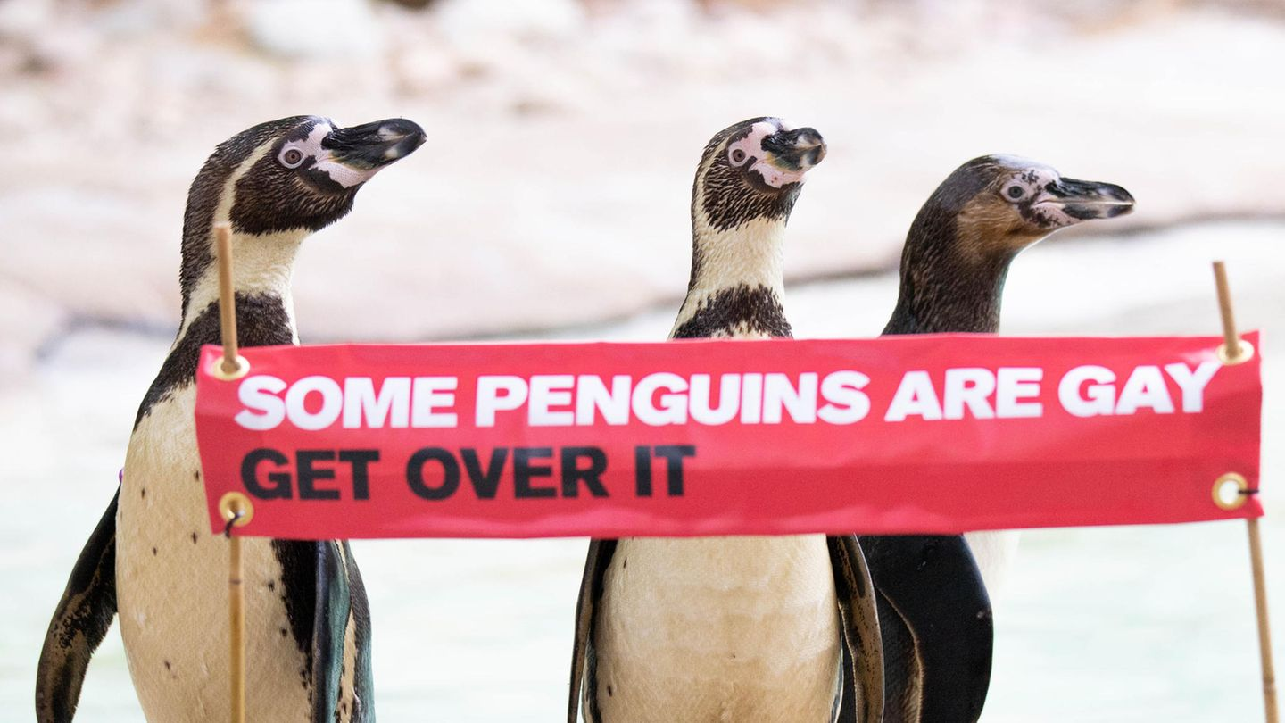 Die Humboldt-Pinguine Ronnie, Reggie and Rainbow feiern Pride-Month
