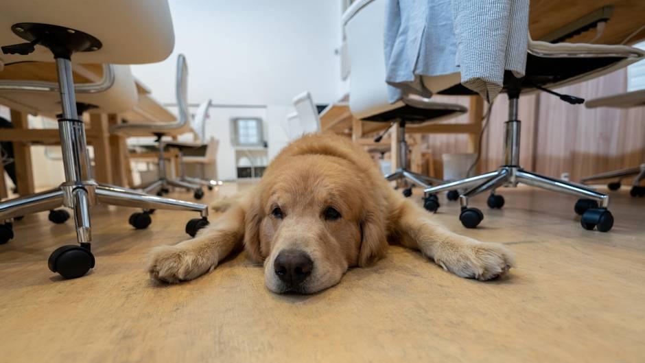Den Stress senken und die Psyche stärken: Ein Hund im Büro kann viele Vorteile haben