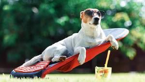 Hund auf Liege mit Sonnenbrille und Cocktail.