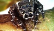 """Die australische Springspinnen-Art """"Jotus karllagerfeldi"""""""