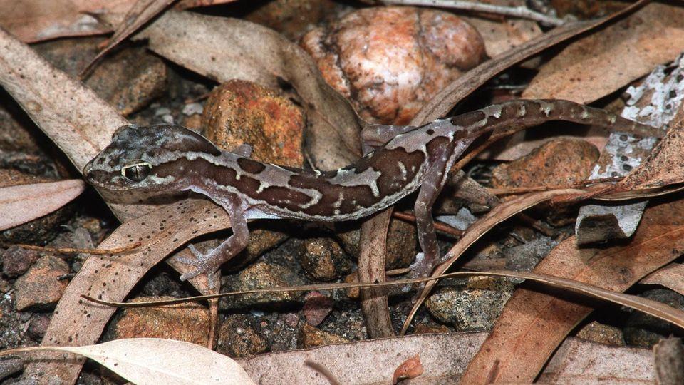 Stachelschwanzgecko in Australien