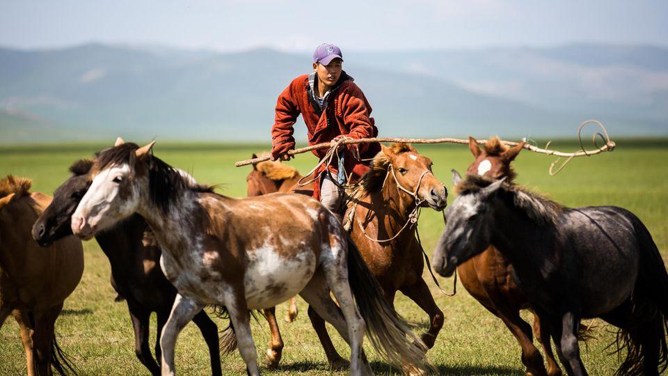 Zucker in der Mongolei: Pferde der Mongolen stehen auf einer Weide