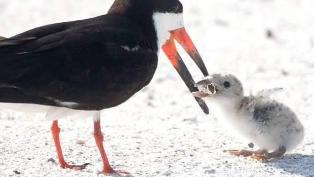 Eine Vogelmutter füttert ihr Junges mit einem Zigarettenstummel