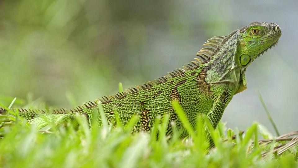 Ein Grüner Leguan sitzt in Florida im Gras