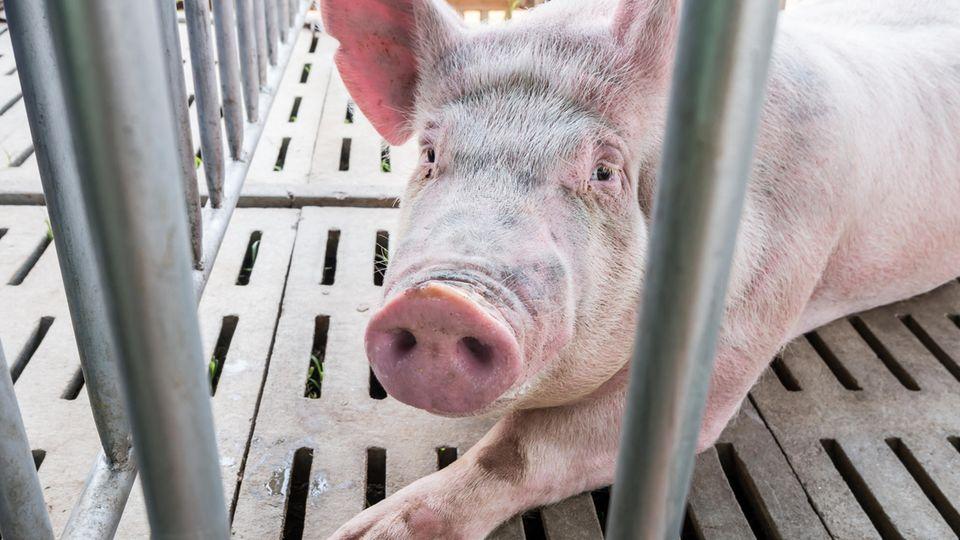 Ein Schwein schaut traurig zwischen Gitterstäben hervor