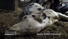 """Die Bilder, die die Organisation Soko Tierschutz dem ARD zugespielt hat, sind verstörend. Hier sieht man eine Kuh, die im """"Krankenabteil"""" des Stalls vom Milchviehbetrieb Endres im Allgäu liegt. Seit eine Woche ringt sie mit ihrem Leben."""
