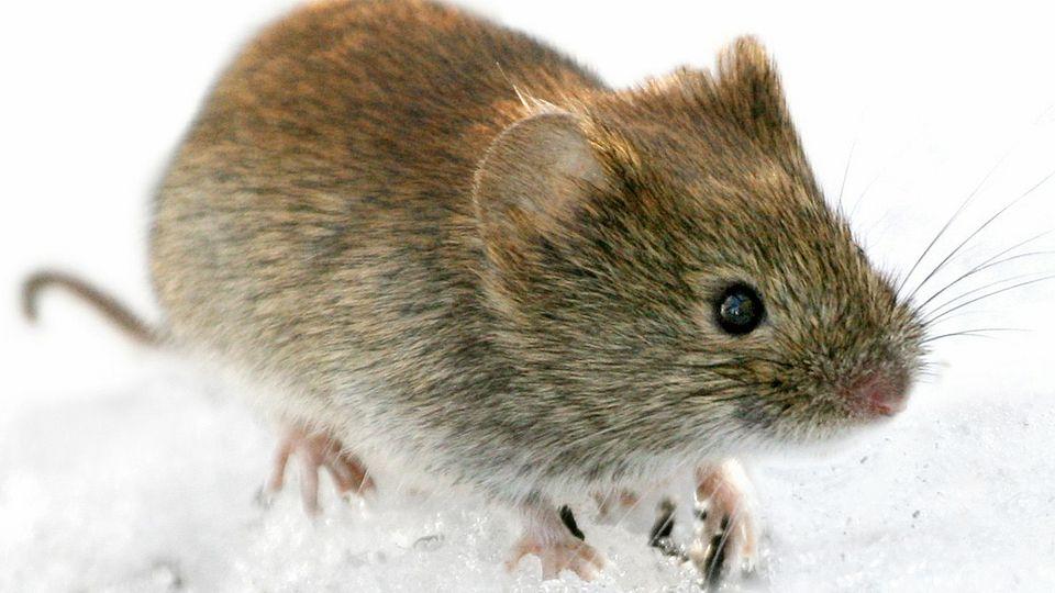 Niedlich ist so eine Maus ja