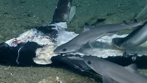 Zahlreiche Dornhaie und andere Vertreter der Spezies fressen den Kadaver eines Schwertfisches.