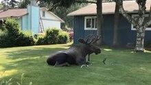 Abkühlung gesucht: Dieser Elch in Alaska chillt unter dem Rasensprenger – doch das ist kein gutes Zeichen.