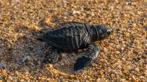 Eine frisch geschlüpfte Baby-Meeresschildkröte auf dem Weg ins Meer