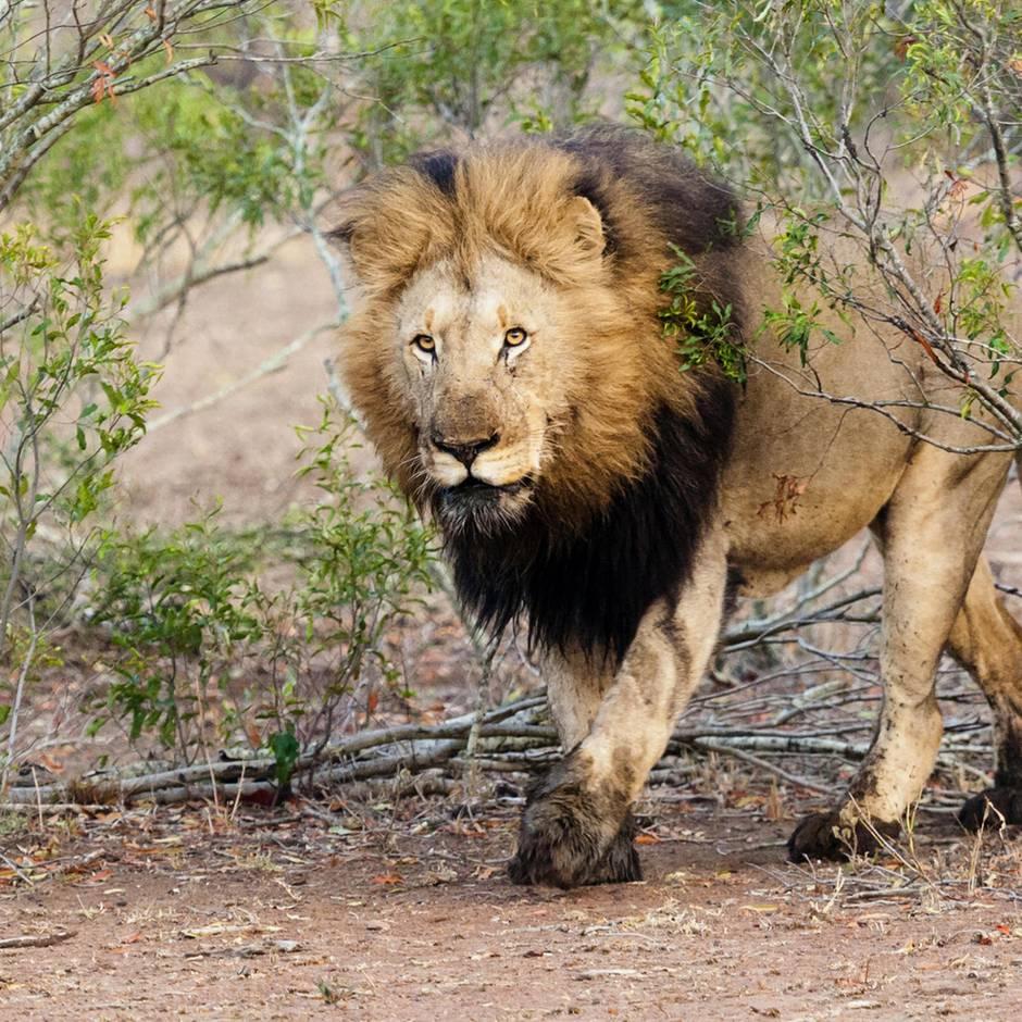 Jagd: Pärchen posiert küssend hinter einem erlegten Löwen in der Kalahari-Wüste