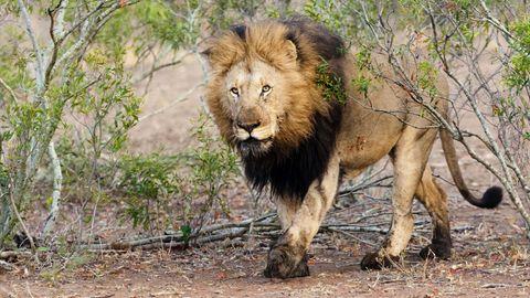 Ein kanadischesPärchenhat hinter einem erlegten Löwen posiert (Symbolbild)